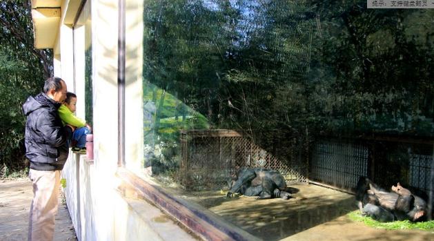 因屋外温度较低,怕冷的黑猩猩不愿外出,游客们只好透过玻璃窗观看暖房中的黑猩猩。
