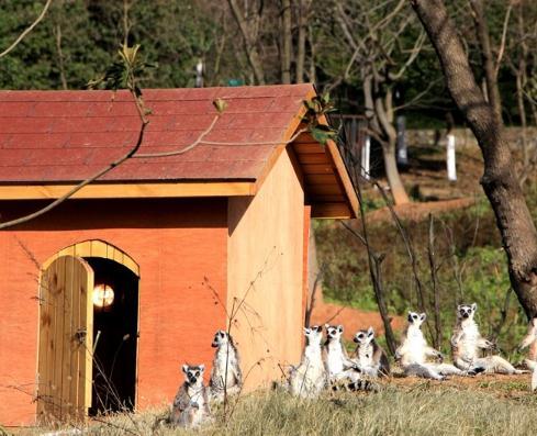 环尾狐猴们集体来到暖房外晒太阳。