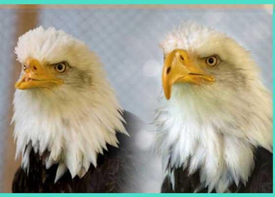 鹰喙    不只是人类能够从假肢中受益。有了3D打印机的帮助,狗狗可以得到假腿,鸭子可以得到假璞,乌龟可以得到假下巴、马儿可以重获蹄子,秃鹰则可重新得到鸟喙。2005年,名为Beauty的秃鹰被偷猎者用枪集中脸部,喙严重受损,甚至无法进食。动物救援人员发现了它,并护理其恢复健康。2007年,猛禽专家简·芬克·康特维尔(Jane Fink Cantwell)将Beauty带到她位于爱达荷州的西北猛禽农场。康特维尔在那里见到了奈特·卡尔文(Nate Calvin),后者当时是Kinetic Engineering Group的机械工程师。在听说Beauty的情况后,卡尔文与其他科学家、工程师以及牙医设计了尼龙聚合物材质的鸟喙,与Beauty非常匹配。卡尔文利用3D模型开发出鸟喙原型,最后用3D打印机打印出来。尽管这个鸟喙不足以支持Beauty回到野外,但它现在至少可以自己进食。