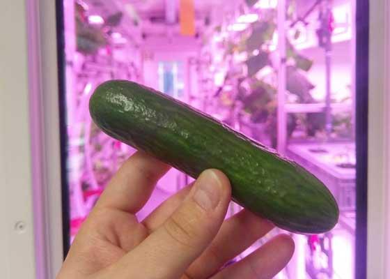 7月份时,研究团队在Eden-ISS农场内培育出了第一根黄瓜,重量96克、长14厘米。