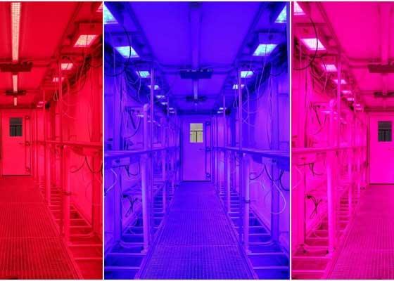 提供光照的LED灯照射出红色和蓝色波长,这是植物生长最理想的光频。